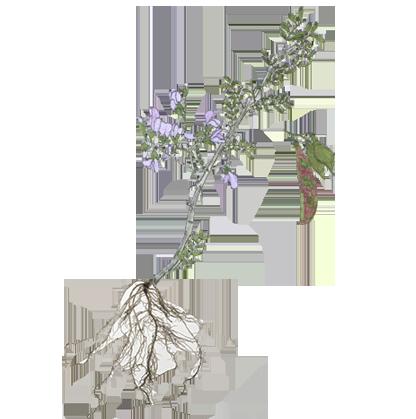 plantpart_legume_2.png