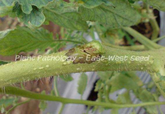 Brown lesion on petioles and stem